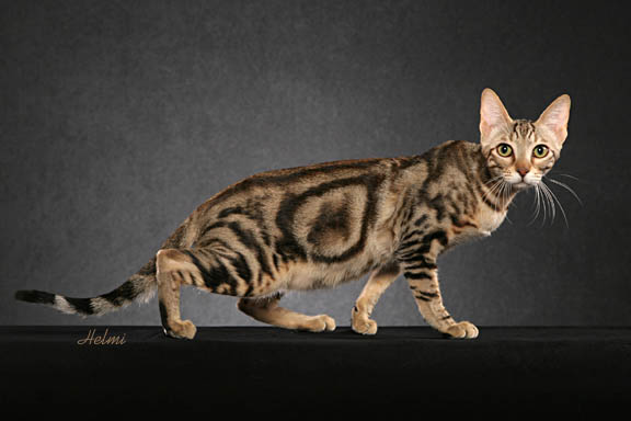 Sokoke Kitten: Sokoke Showthread Breed
