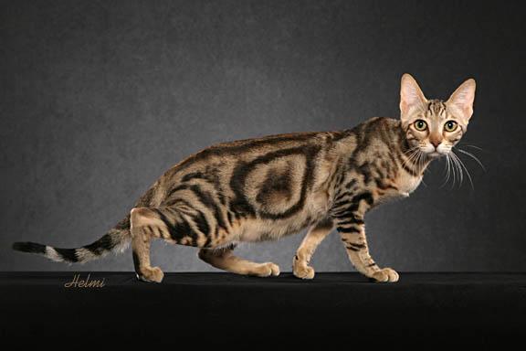 Sokoke Kitten: Sokoke Showthread Breed