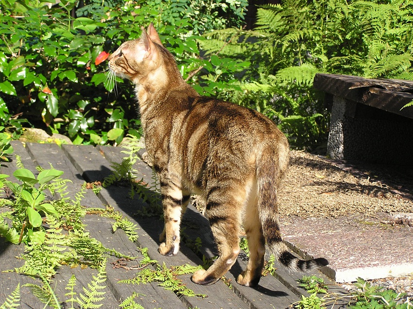 Sokoke Kitten: Sokoke Sokoke Breed