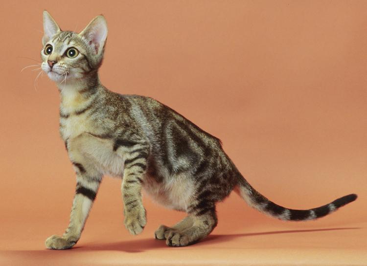 Sokoke Cat: Sokoke Sokoke Cat Breed