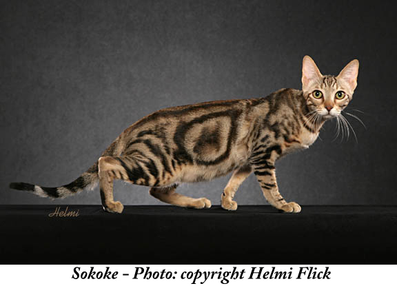 Sokoke Cat: Sokoke Sokoke Cat Picture Breed