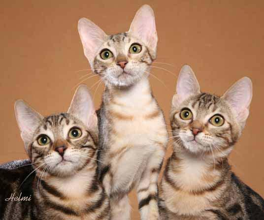 Sokoke Kitten: Sokoke Sokoke Kittens Breed