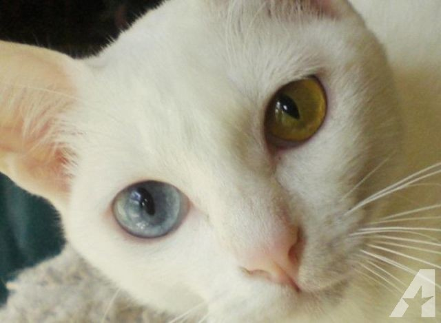 Khao Manee Kitten: Solid White Khao Manee Kittens Odd Eye Blue Amber Breed
