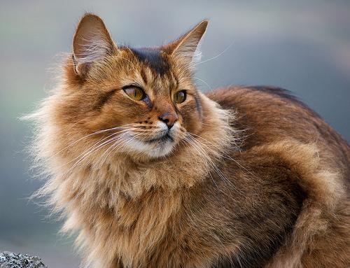 Somali Cat: Somali Breed