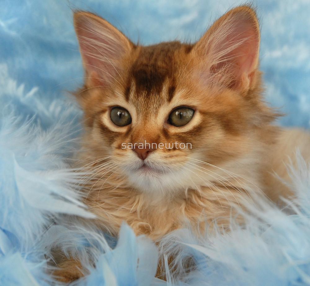 Somali Kitten: Somali Chocolate Somali Kitten Portrait Breed
