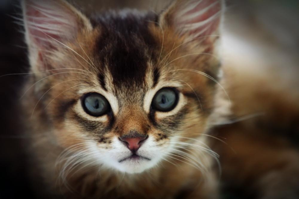 Somali Kitten: Somali Cute Somali Kittens S Breed