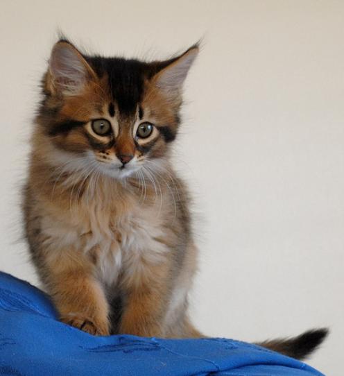 Somali Kitten: Somali Cutesomalikittens Breed