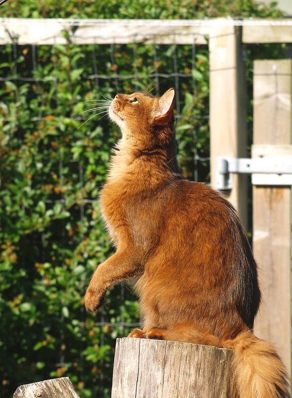 Somali Cat: Somali Red Somali Cat Outside Breed