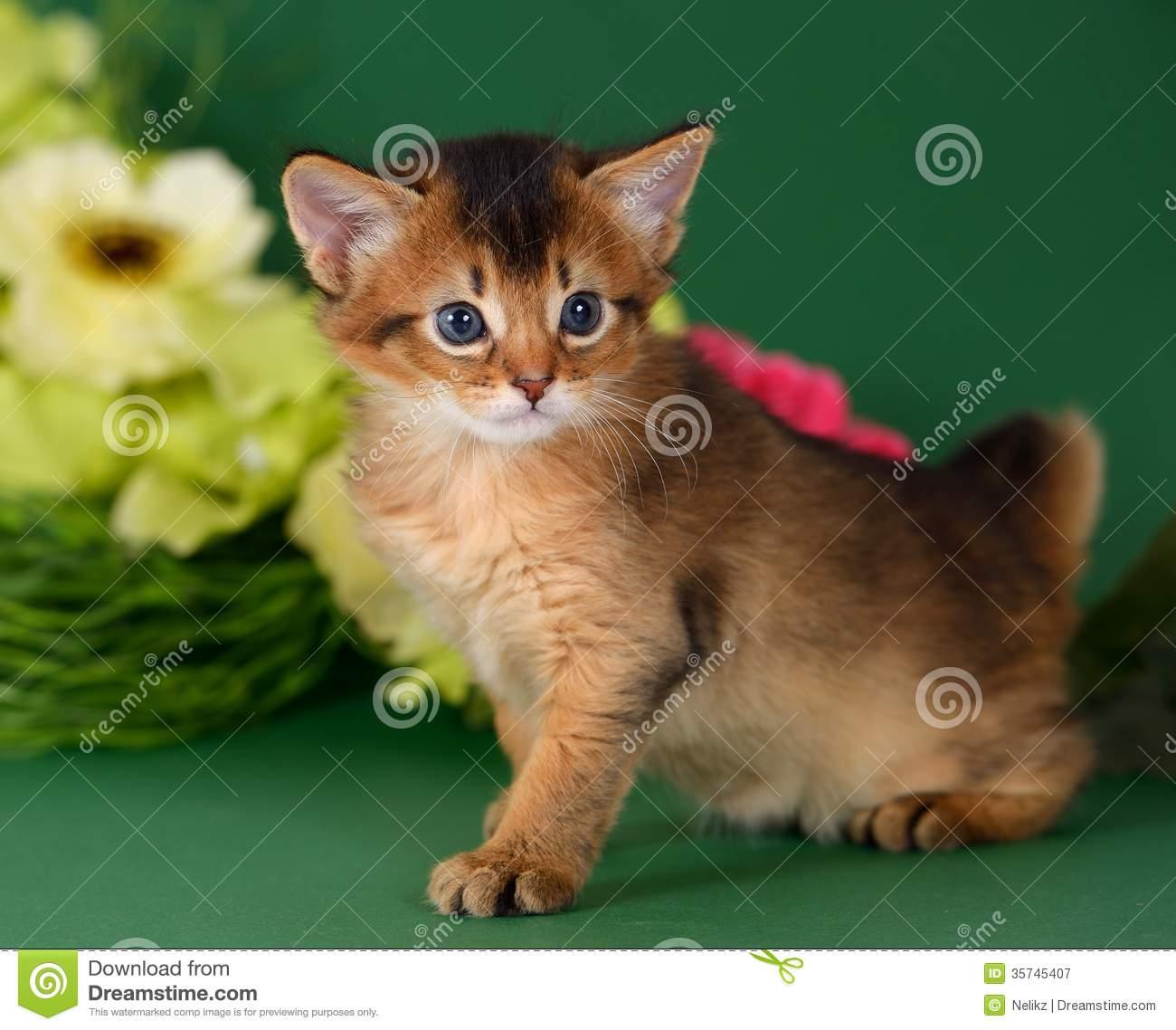 Somali Kitten: Somali Royalty Free Stock Graphy Cute Somali Kitten Green Background Flowers Breed