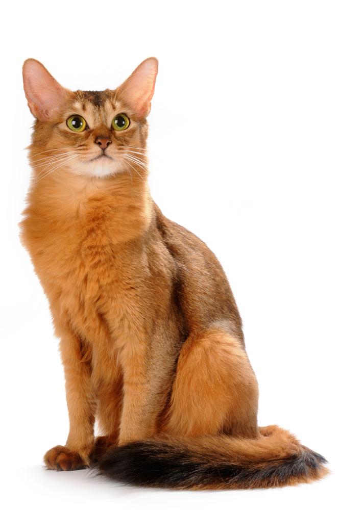 Somali Cat: Somali Somali Breed