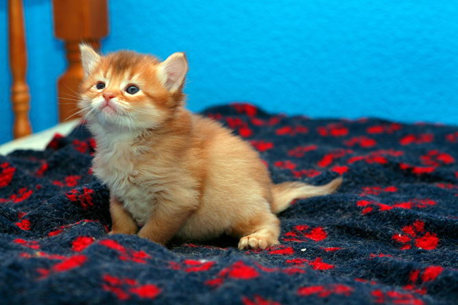 Somali Kitten: Somali Somali Cat Breed Profile