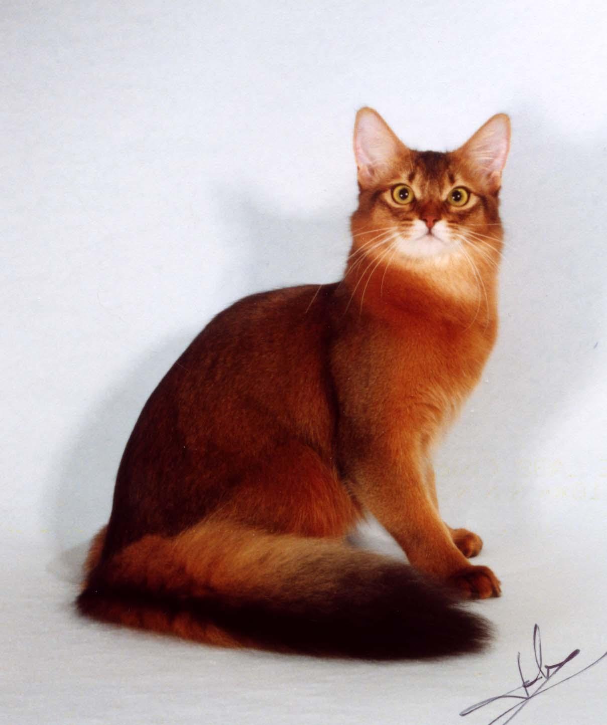 Somali Cat: Somali Somali Cat Breed