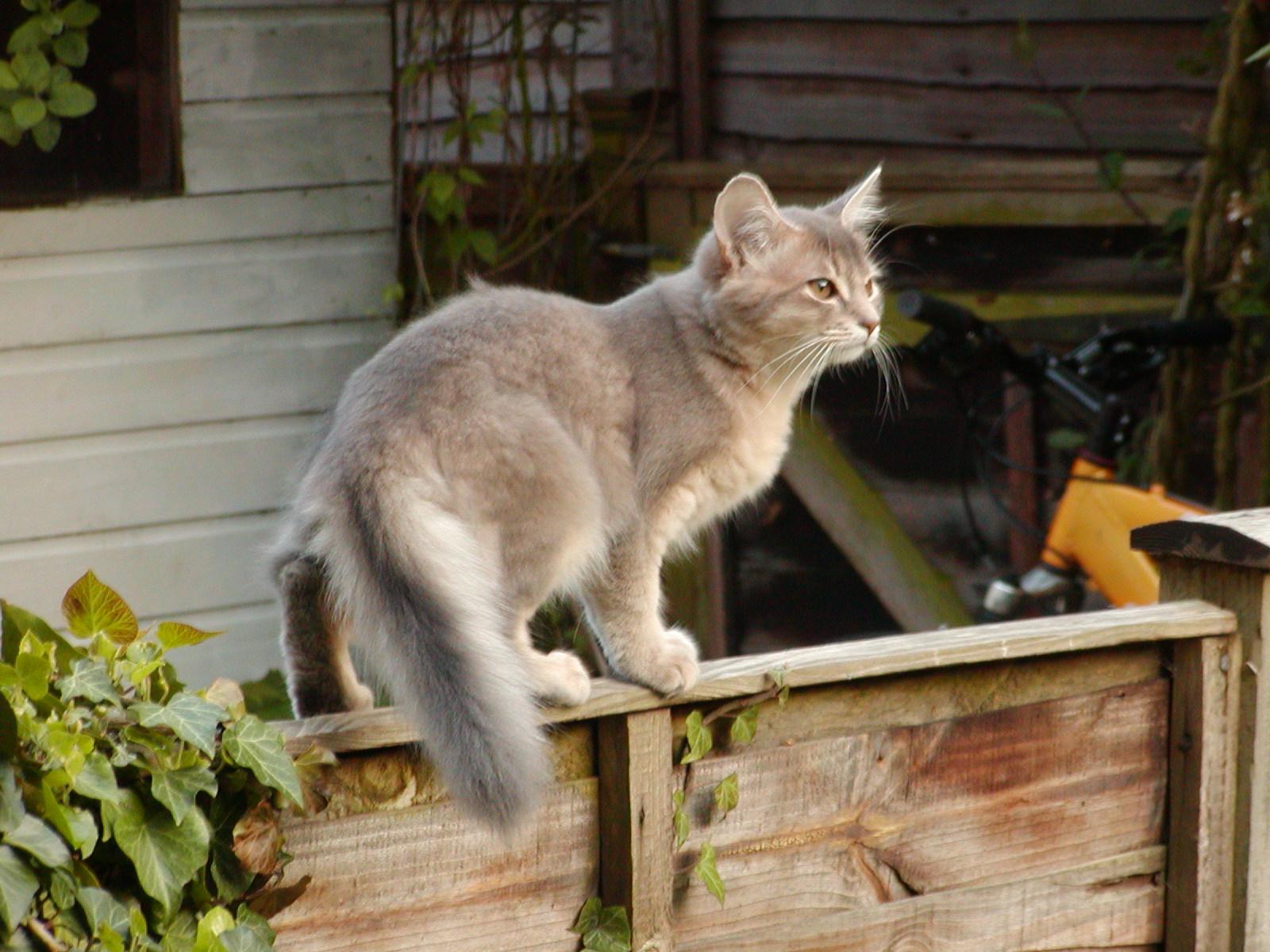 Somali Cat: Somali Somali Cat Personality Traits Breed