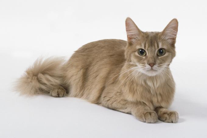 Somali Cat: Somali Somali Cats Breed
