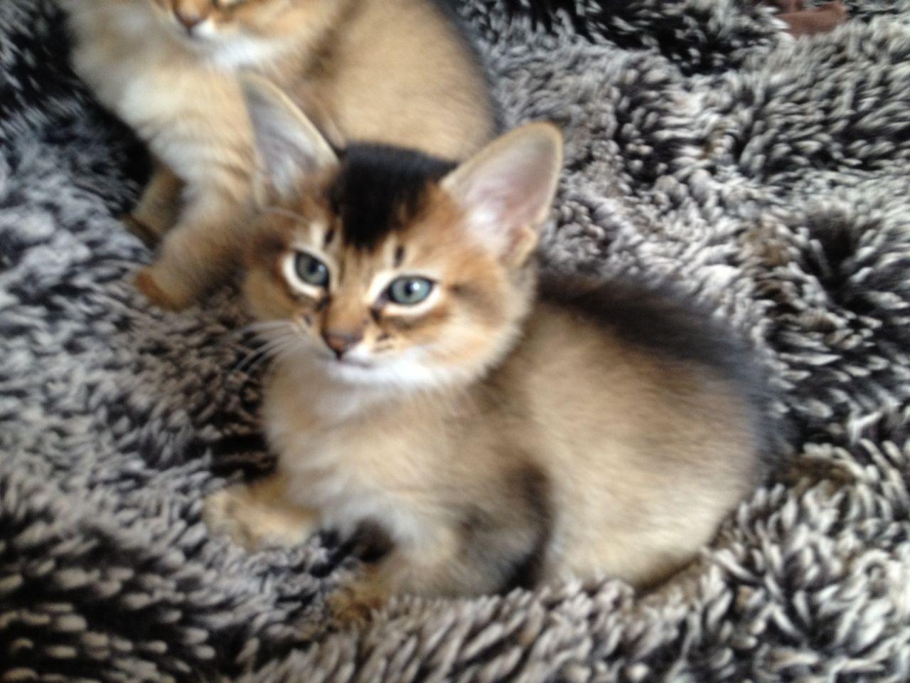 Somali Kitten: Somali Somali Kitten Breed