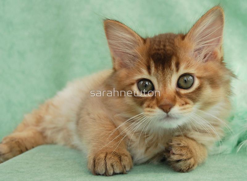 Somali Kitten: Somali Somali Kitten Portrait Breed