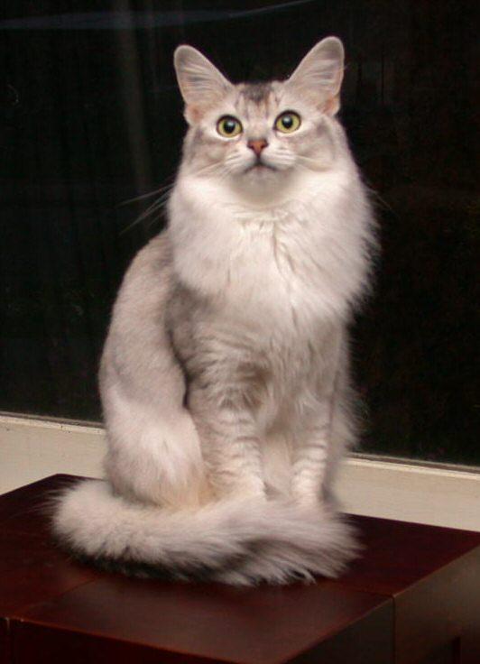 Somali Cat: Somali Somali S Breed
