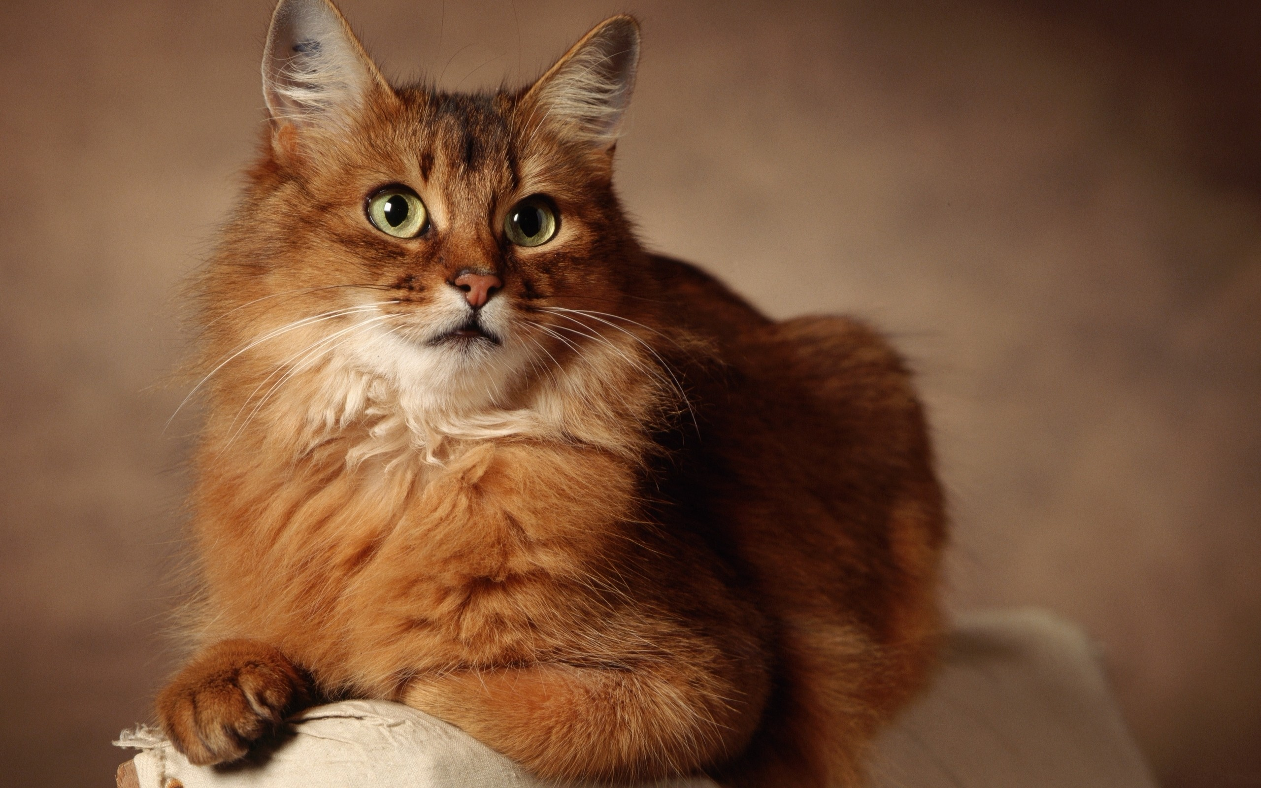 Somali Cat: Somali Somalicat Breed