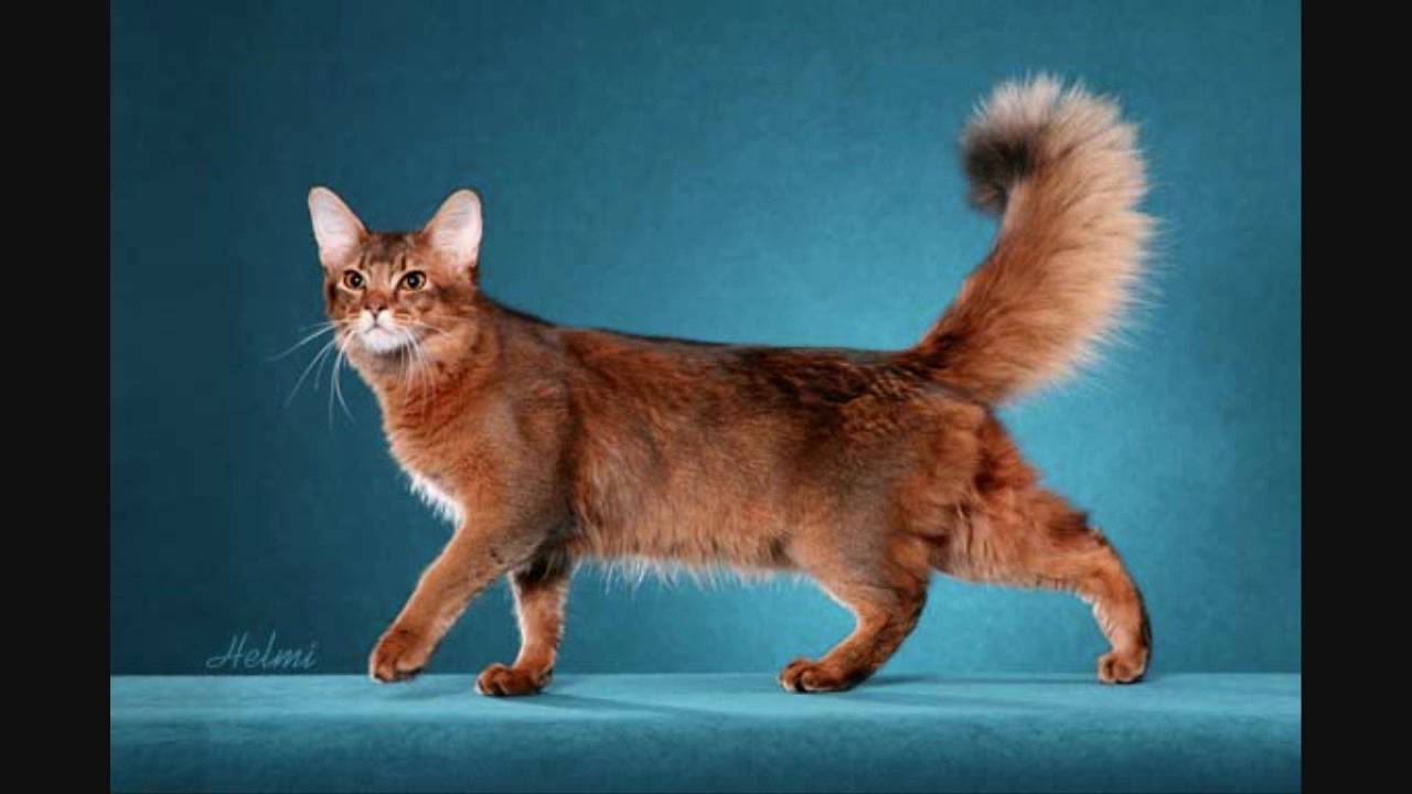 Somali Cat: Somali Somalicatforsale Breed