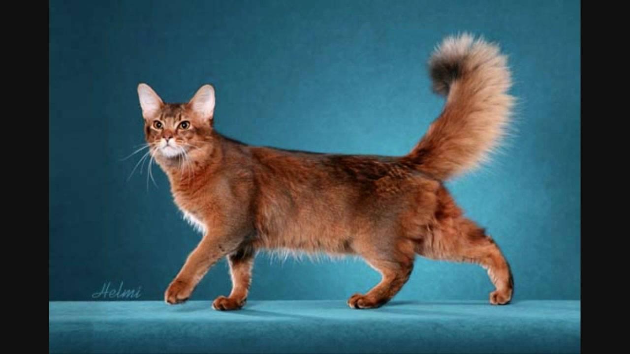 Somali Cat: Somali Somalicatforsale Breed