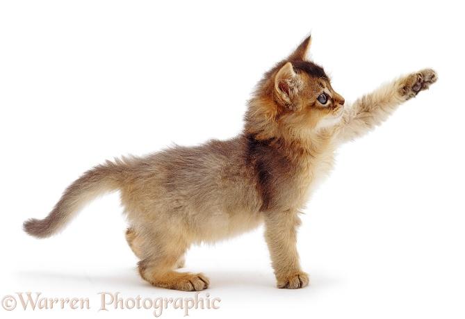 Somali Kitten: Somali Usual Somali Kitten Weeks Old Breed