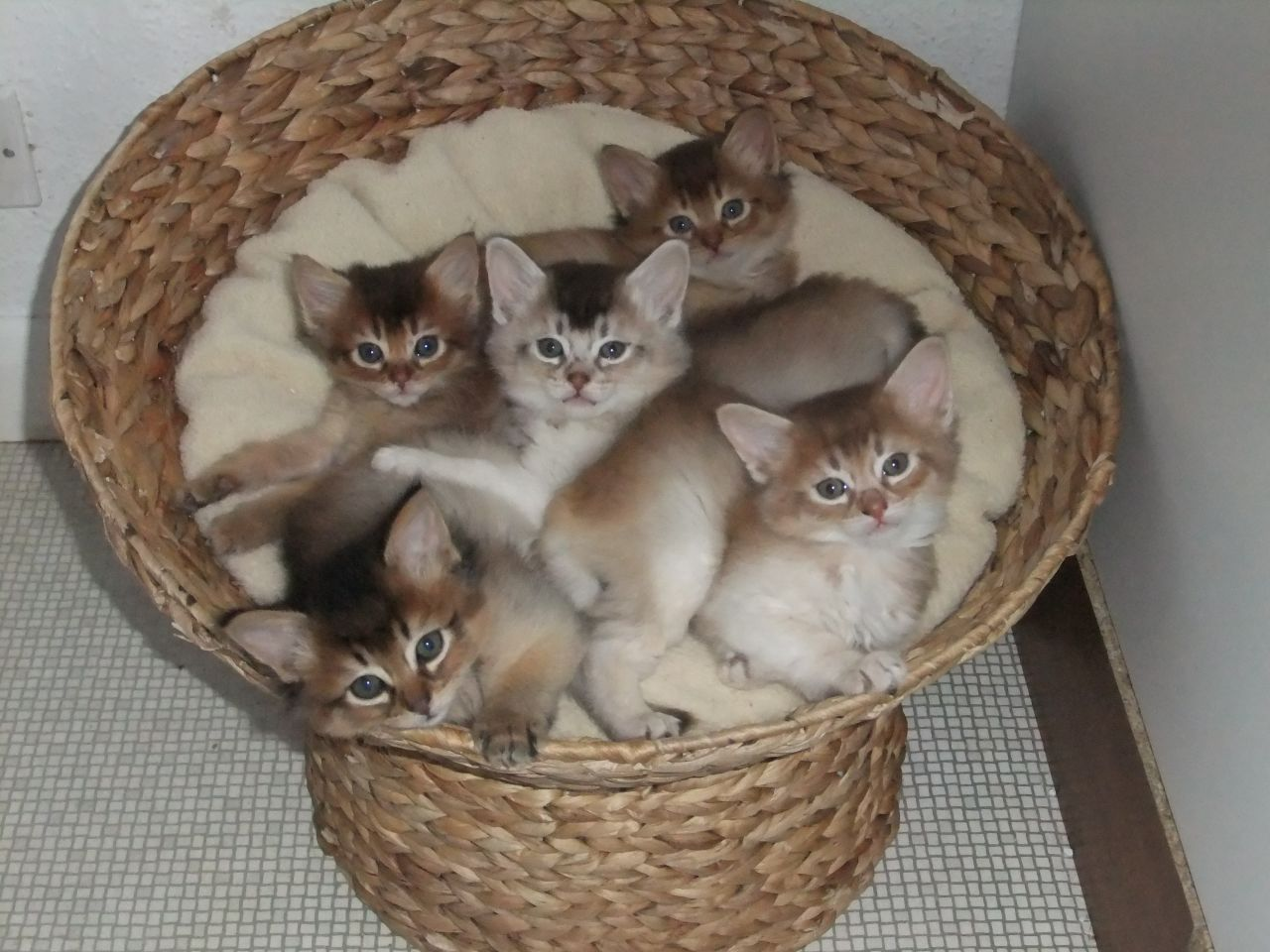 Somali Kitten: Somali Very Cute Somali Kitten Pictures And S Breed