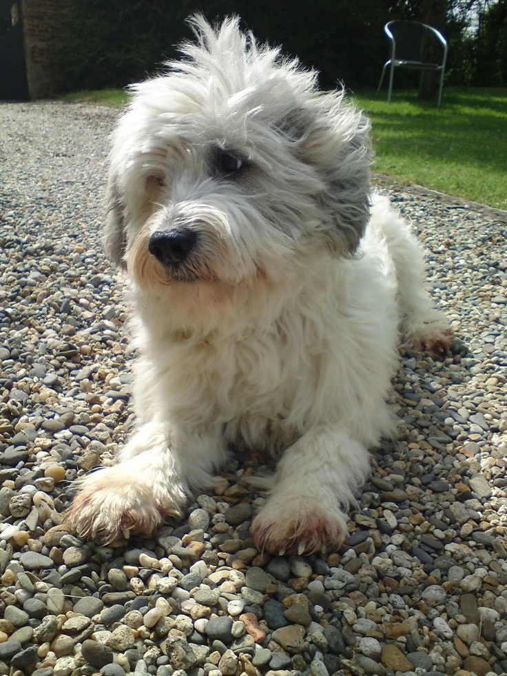South Russian Ovcharka Puppies: South Breed
