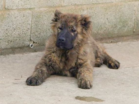 South Russian Ovcharka Puppies: South Caucasian Ovcharka Puppies For Sale Sheffield Breed