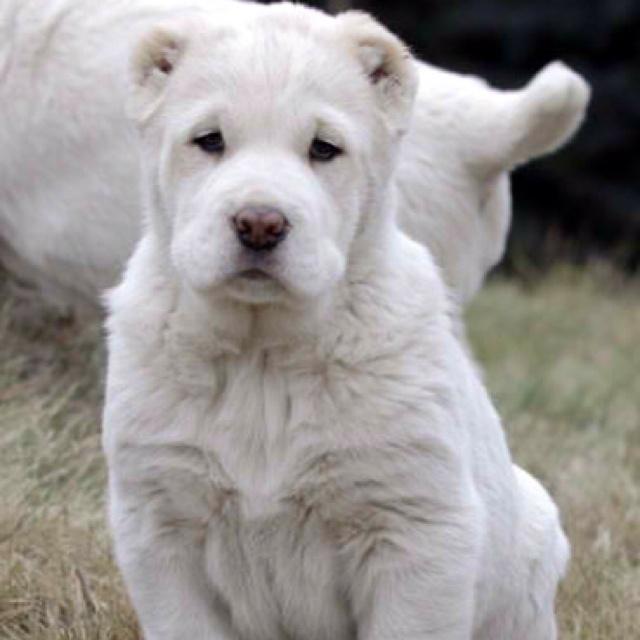 South Russian Ovcharka Dog: South Central Asian Ovcharka Ovcharka Dogs S Breed