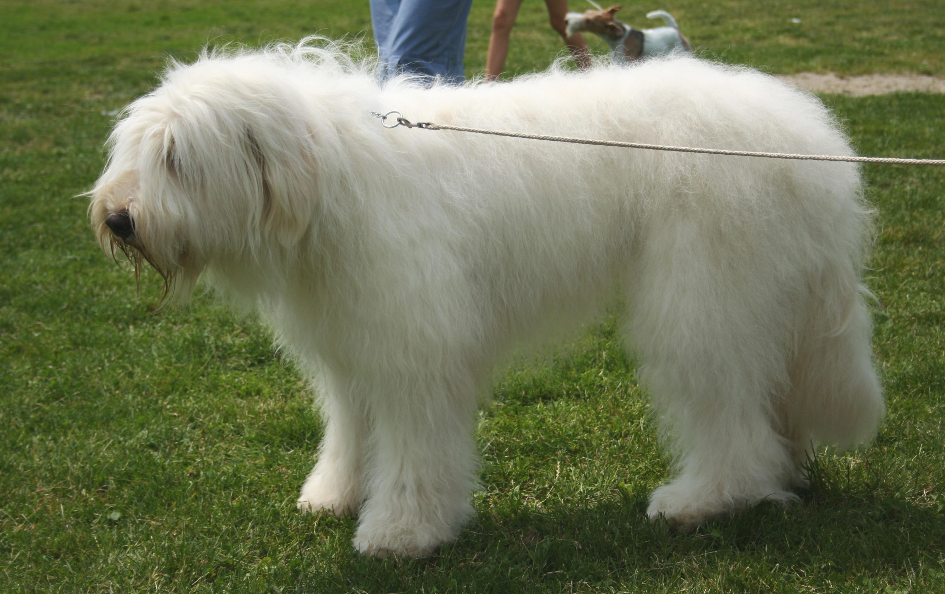 South Russian Ovcharka Dog: South Cute South Russian Ovcharka Dog Breed