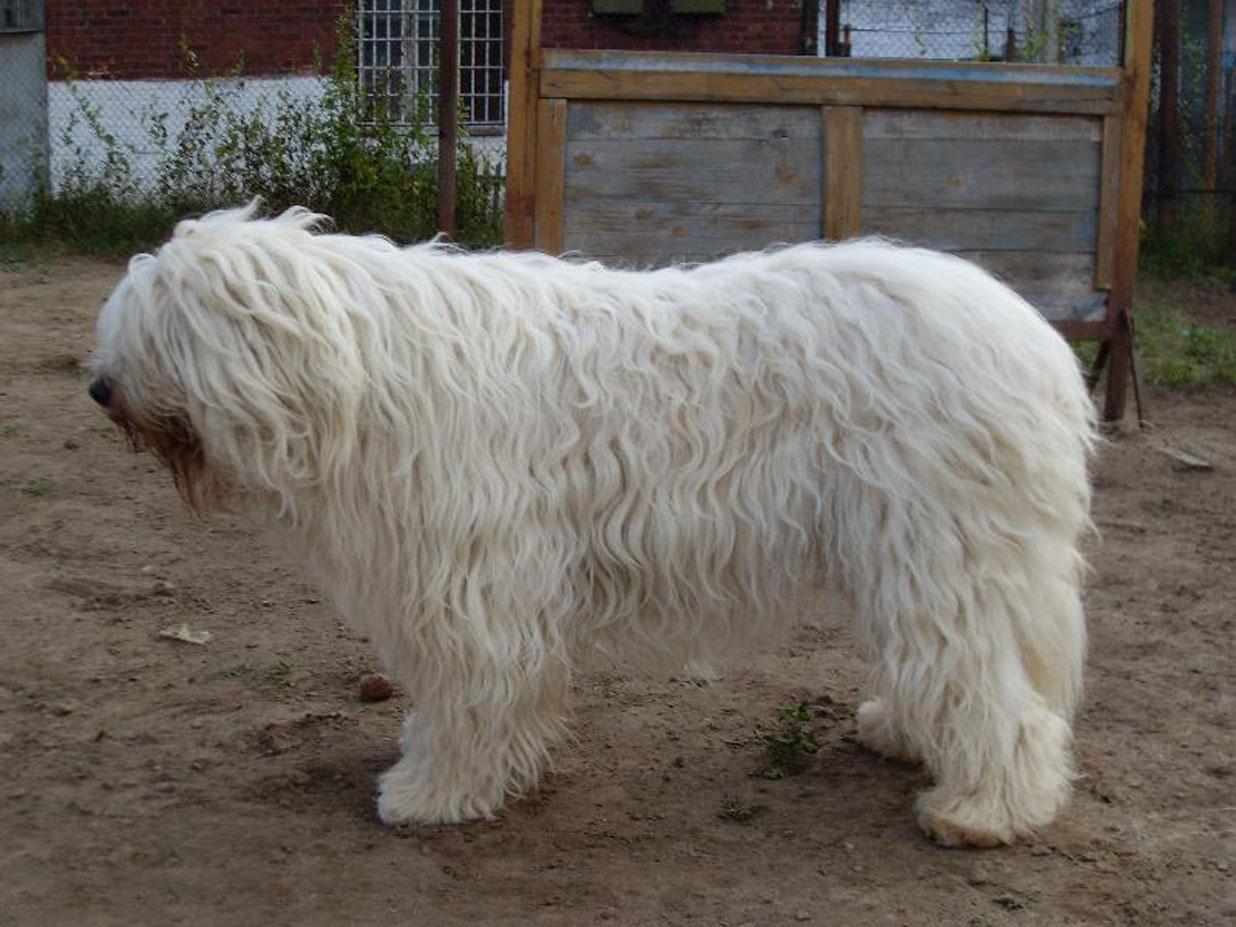 South Russian Ovcharka Dog: South Livestock Guardian Breeds Ukrainian