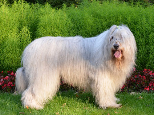 South Russian Ovcharka Dog: South Open Breed