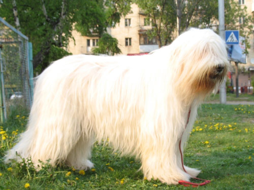 South Russian Ovcharka Dog: South Pictures Breed