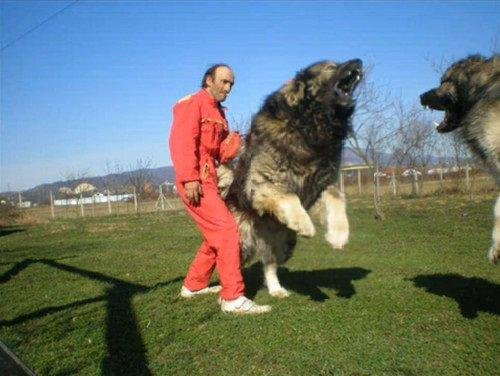 South Russian Ovcharka Puppies: South Russian Bear Hunting Dog Caucasian Breed