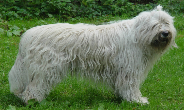 South Russian Ovcharka Puppies: South South Russian Ovcharka Breed