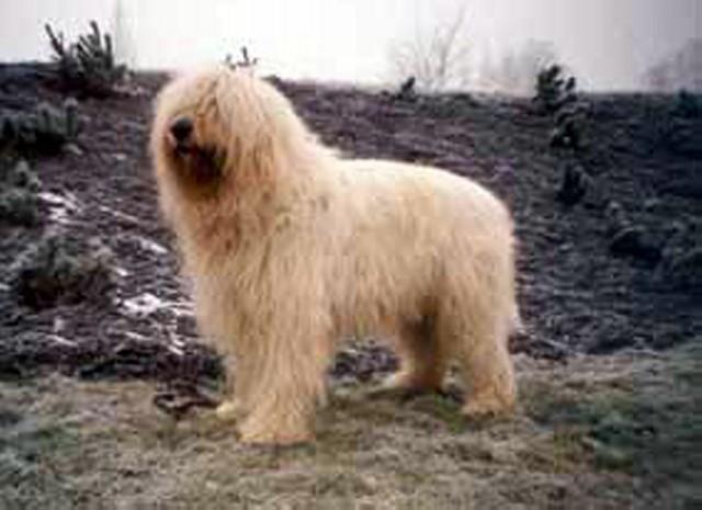 South Russian Ovcharka Dog: South South Russian Ovcharka Dog Breed