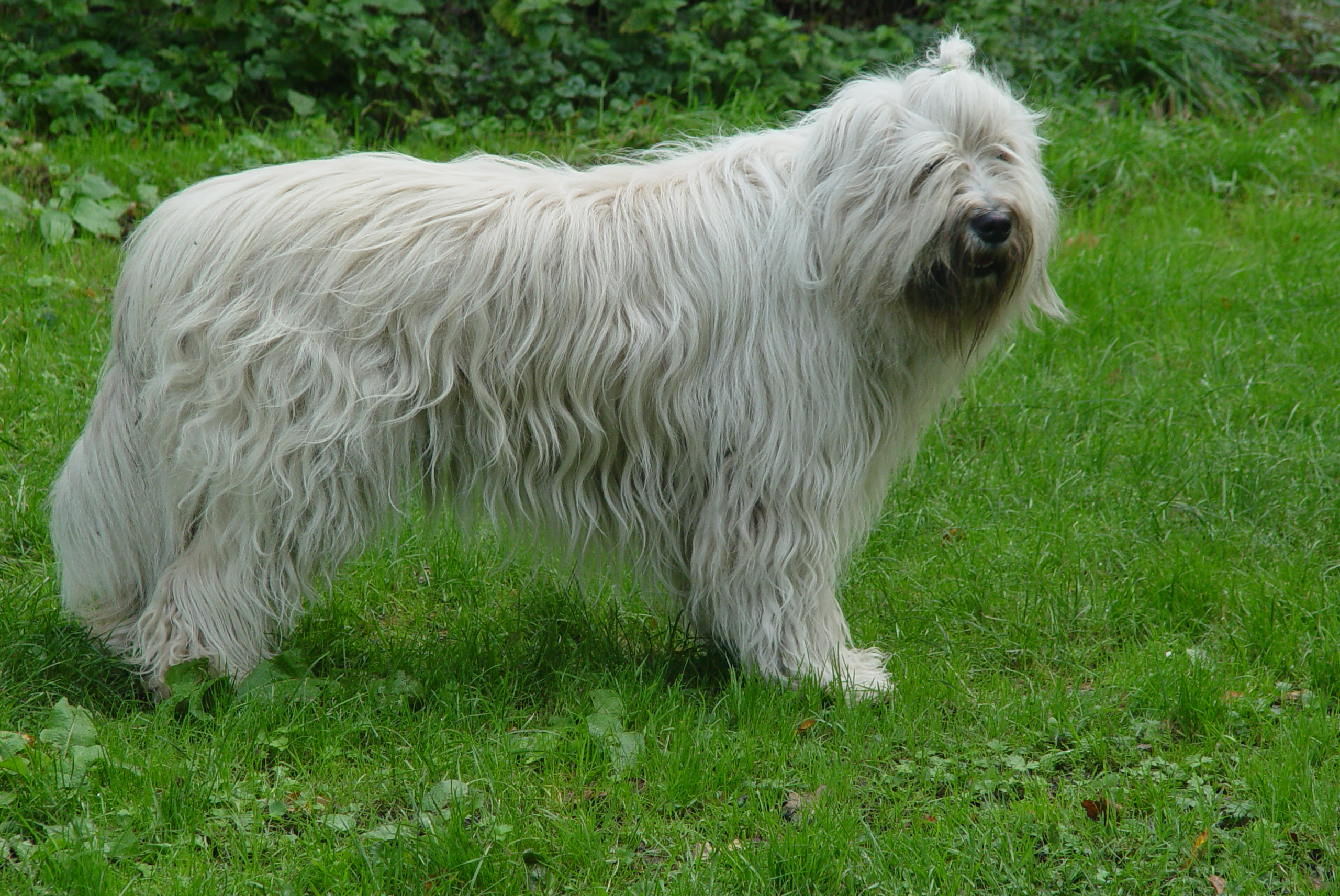 South Russian Ovcharka Dog: South South Russian Ovcharka Dog On The Grass Breed