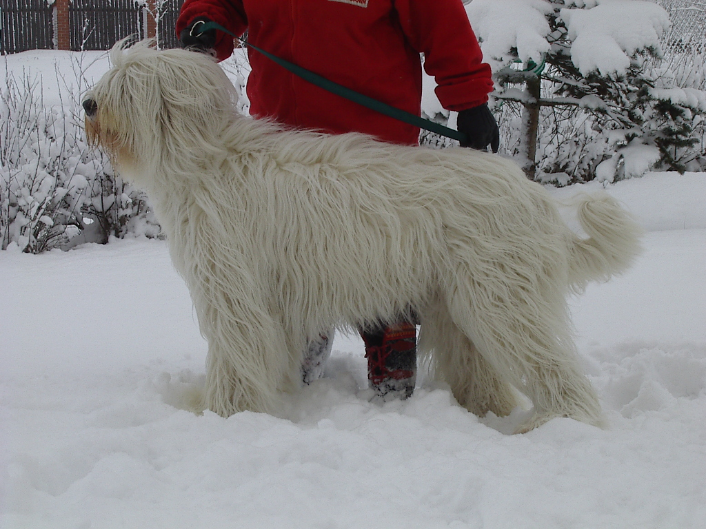 South Russian Ovcharka Dog: South South Russian Ovcharka In The Snow Breed