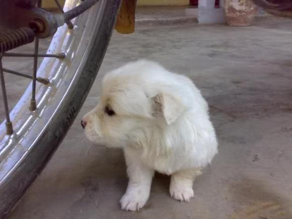 South Russian Ovcharka Puppies: South South Russian Ovcharka Puppies Breed