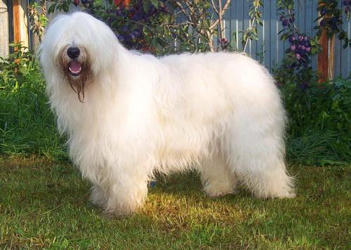 South Russian Ovcharka Dog: South Yuzhnorusskaya Ovcharka South Russian Shepherd Dog Breed