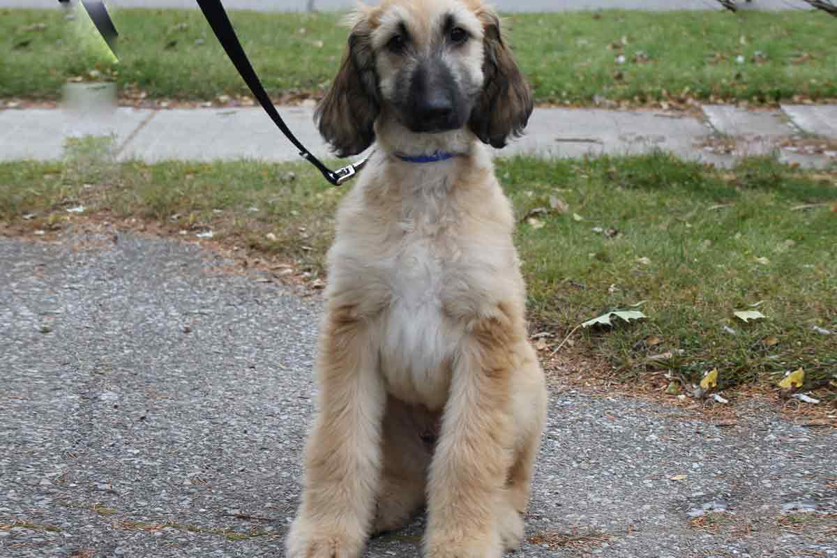 Southern Hound Puppies: Southern Afghan Hound Puppies For Sale Breed