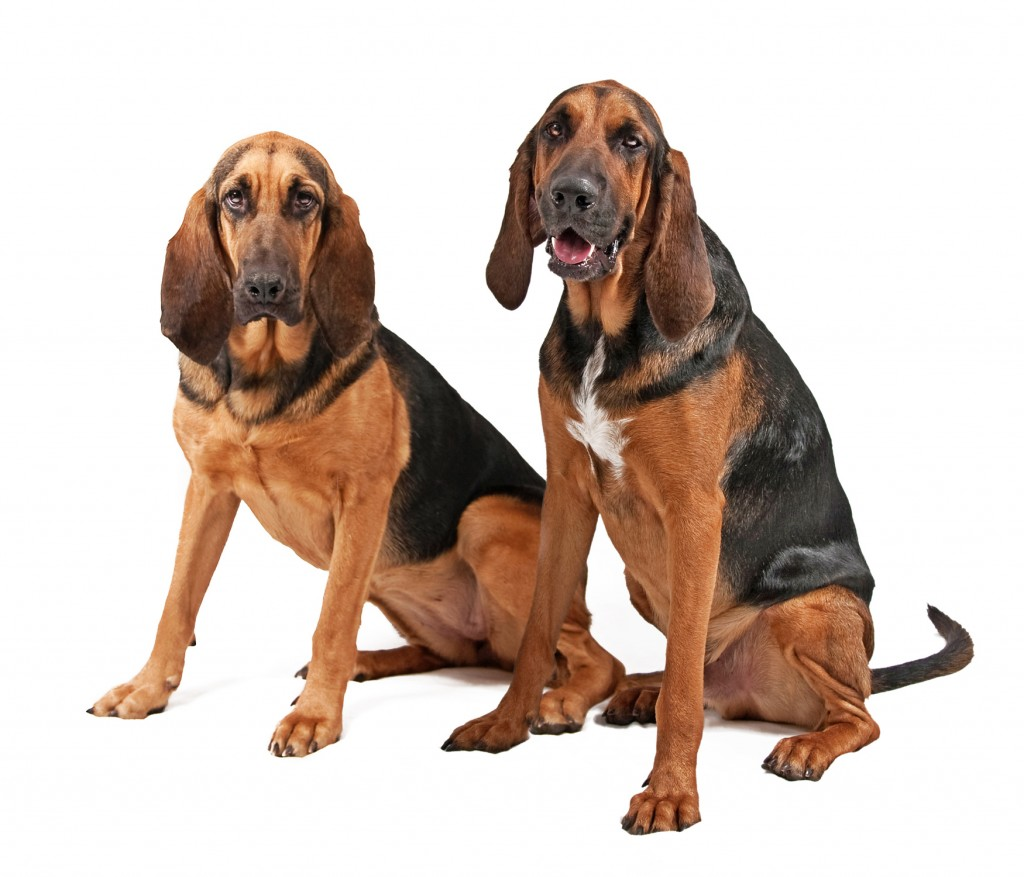 Southern Hound Dog: Southern Bloodhound Dogs Breed