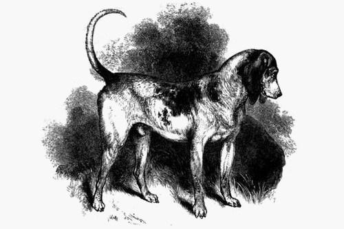 Southern Hound Dog: Southern Cordoba Fighting Dog Breed