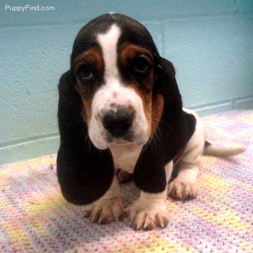 Southern Hound Puppies: Southern New Baby Basset Question Breed