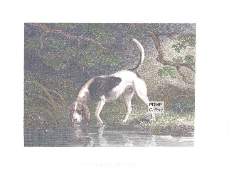Southern Hound Dog: Southern Prod Breed
