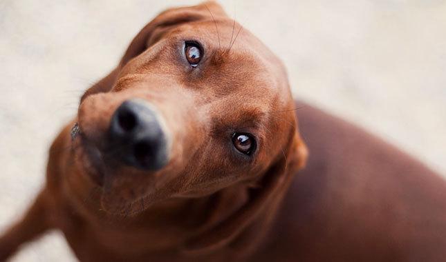 Southern Hound Dog: Southern Redbone Coonhound Breed