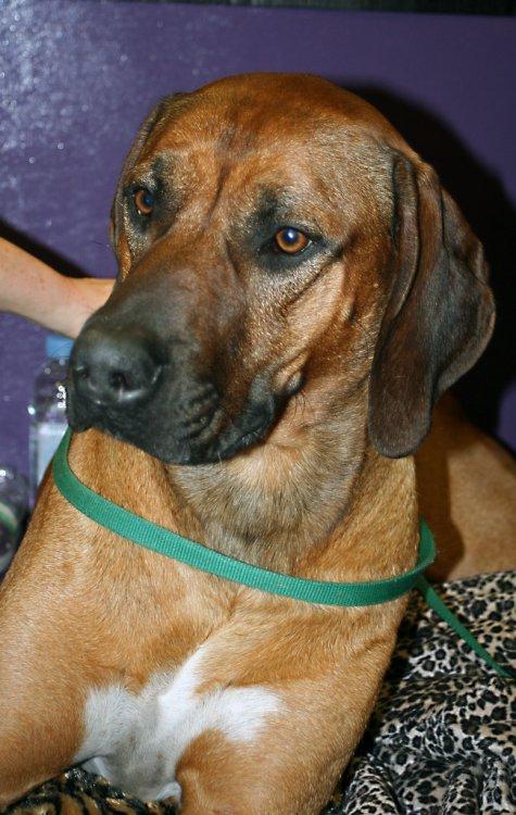 Southern Hound Dog: Southern Southernhound Breed
