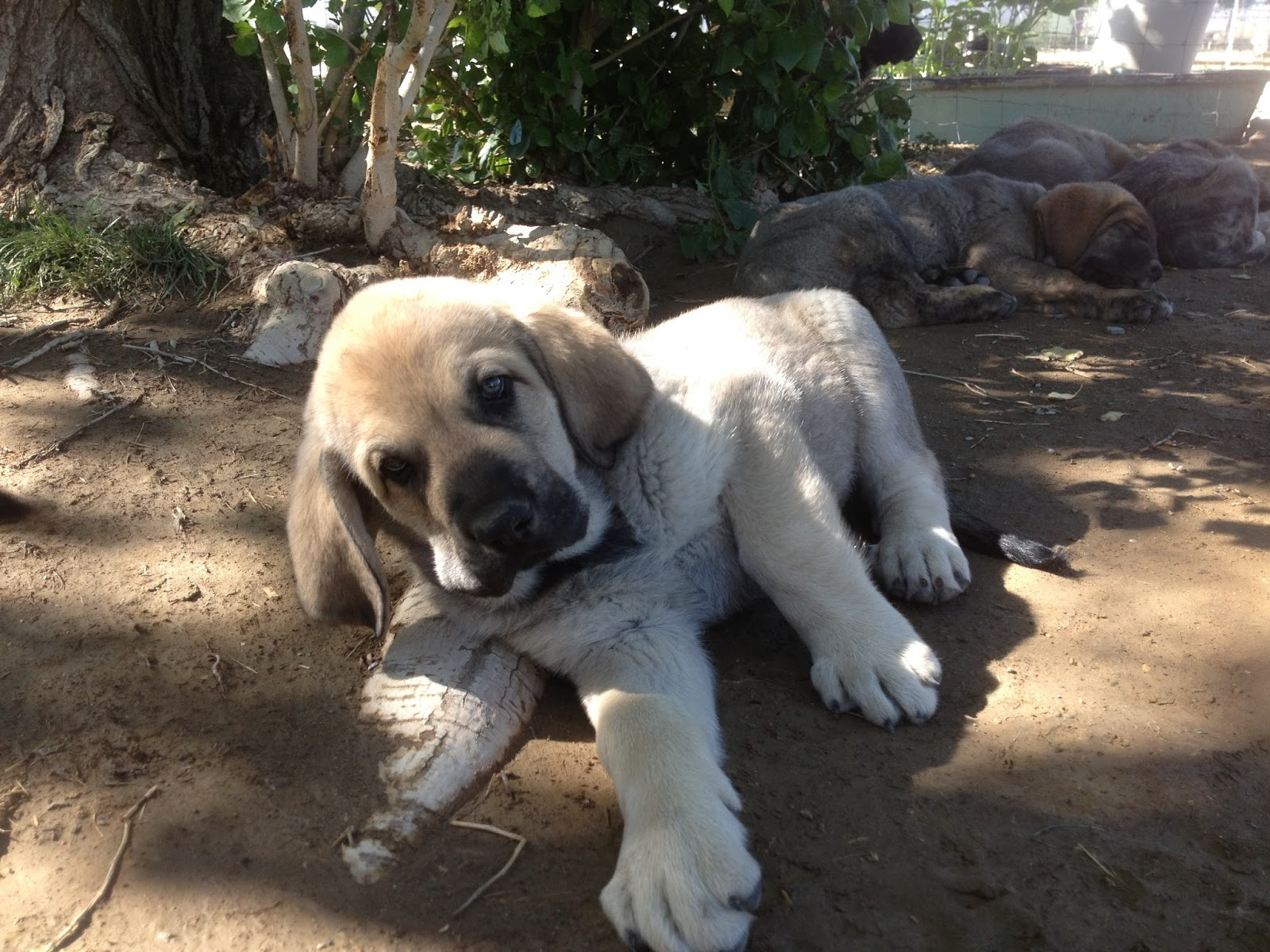 Spanish Mastiff Dog: Spanish A Litter Spanish Mastiff Pups At Weeks Breed