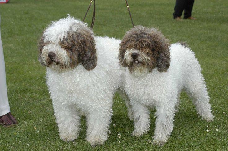 Spanish Water Puppies: Spanish Breed