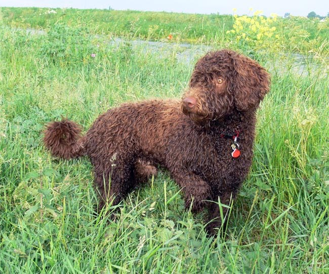 Spanish Water Dog: Spanish Eight Months Old Kg Trails And Breed